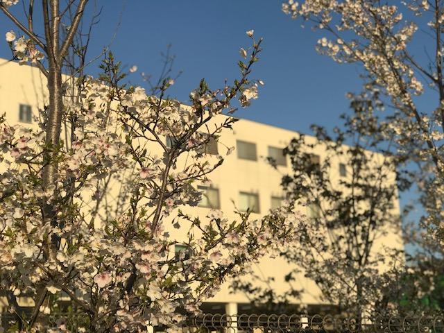市川センターの桜